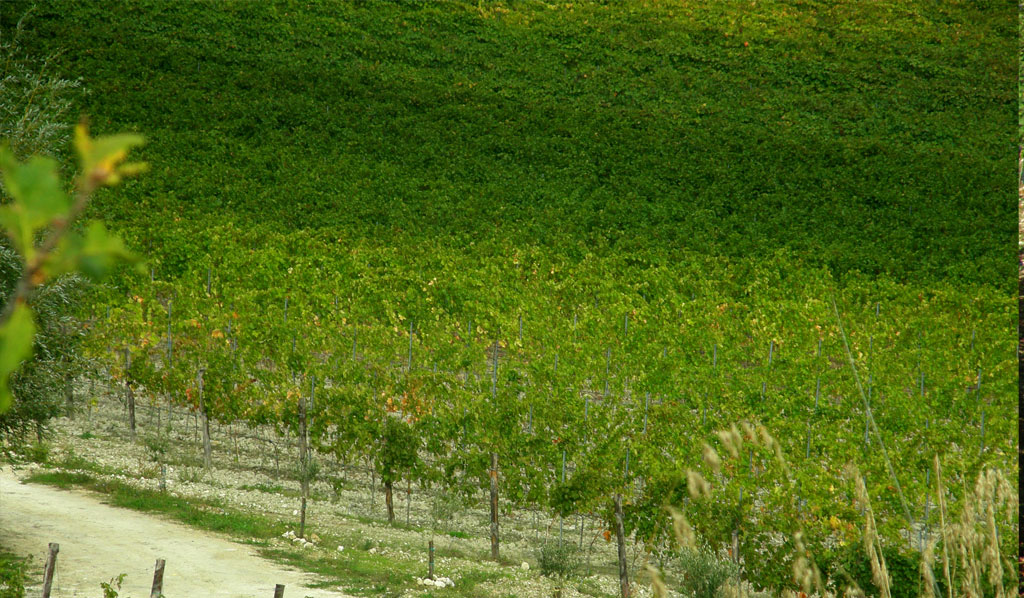 REALARICO WINES | VINEYARD OF CAROLEI (ITALY)